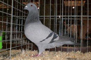 belian homer pigeons