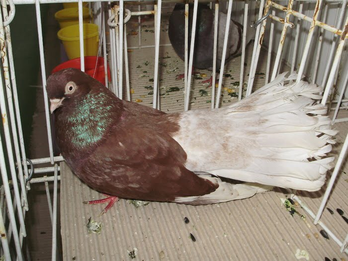 pigeons Highflier