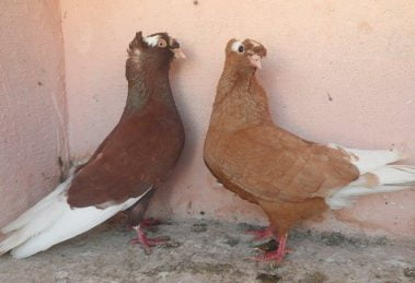 red pigeons - yellow pigeons - syrian pigeosn