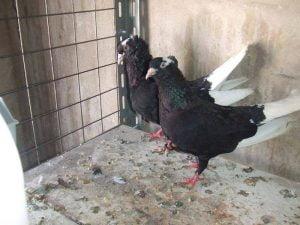 syrian tumbler pigeons