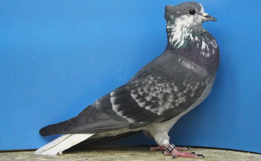 colour pigeons - swiss pigeons
