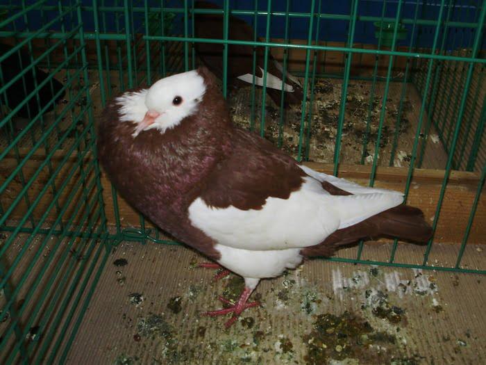 Boulant Pie de - pigeons