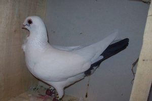 owl pigeon - dove bird