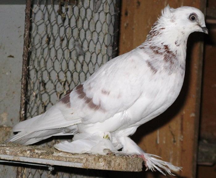 pigeons boheme