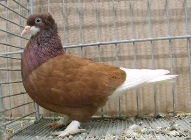 pigeons culbudant