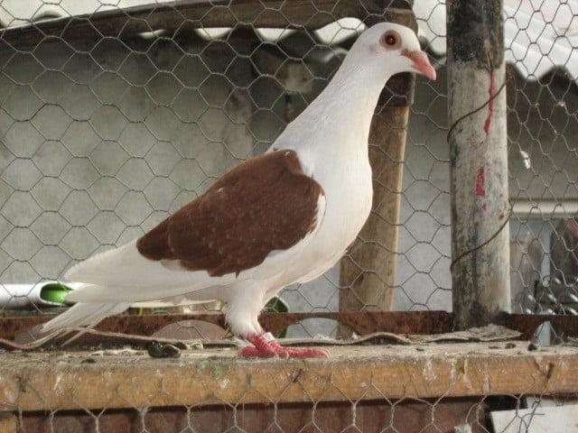 homer pigeons - brieftauben