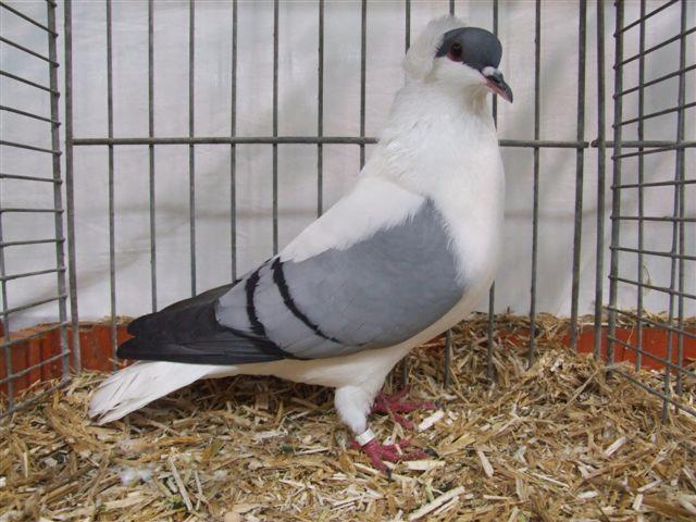 Hirondele pigeons