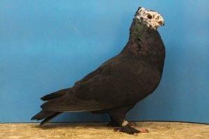 colour -pigeons - swiss