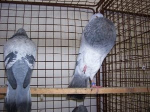 volac - doves