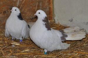 Polish Tumbler - pigeons - white-balck