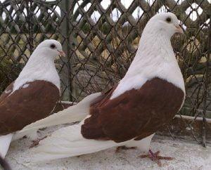 orlik hihgflyer