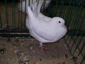 pigeons banat