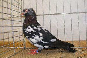 birds images - pigeons