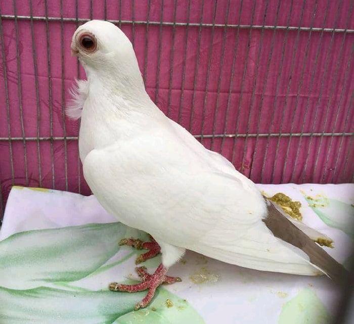 کبوتر دانمارکی - ハト 英語