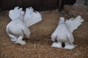 rostow swan - best pigeon