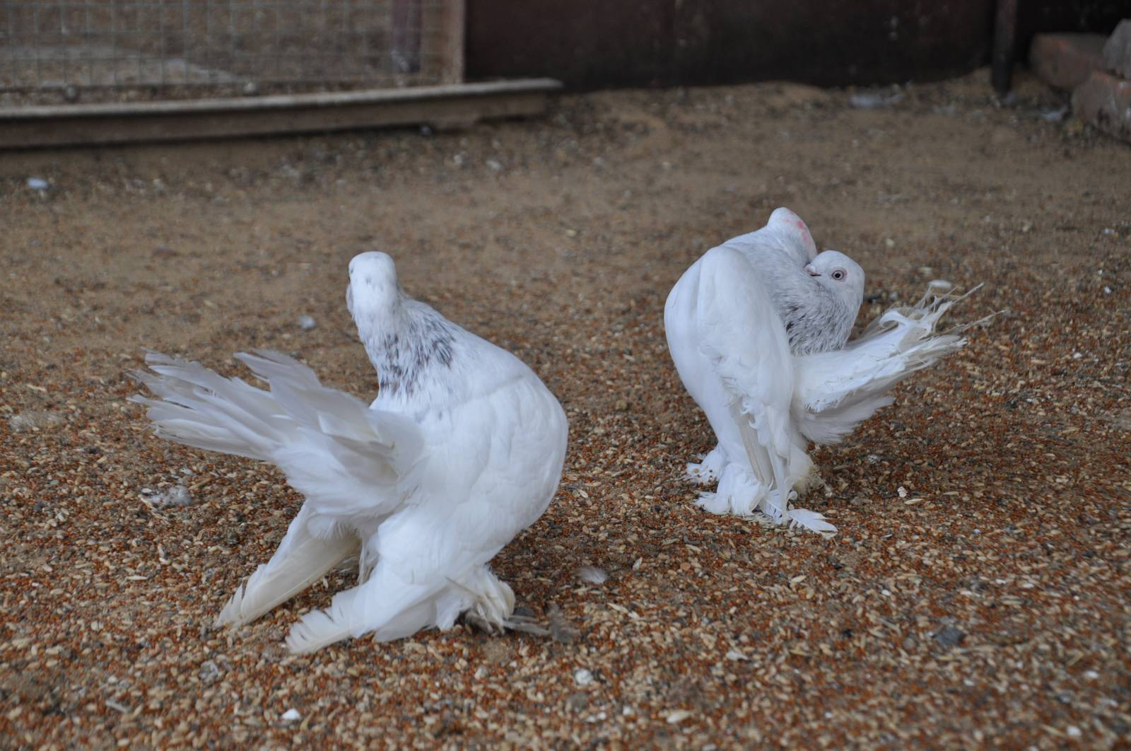 rostow - white - porumbelul