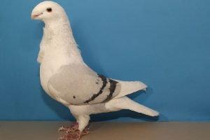 owl-pigeons-mövchen