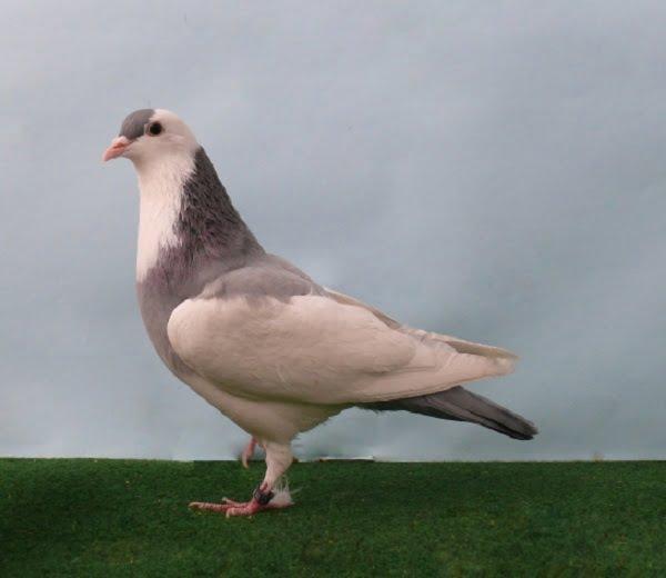 culbutant - pigeons - hungoris