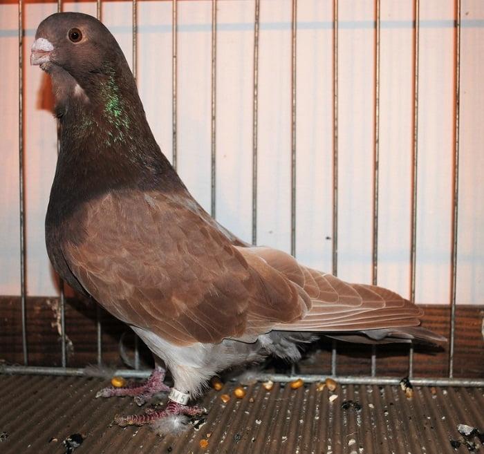 pigns - utility form pigeons
