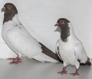palomas voldetera-nun