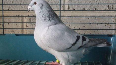 homer pigeon varieties