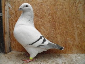 homer tauben - golub - palomo