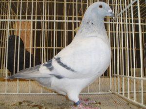 homer pigeon photos