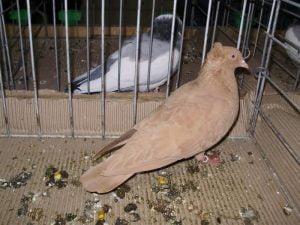 pigeons - Rouleur