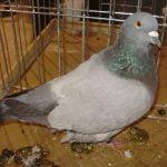 pigeons - szovat