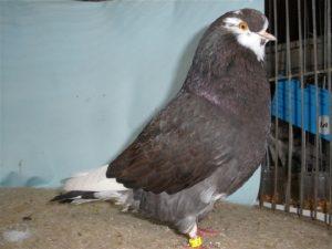american pigeons