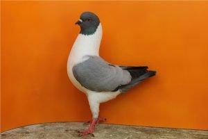 gazzi modena - fancy pigeons