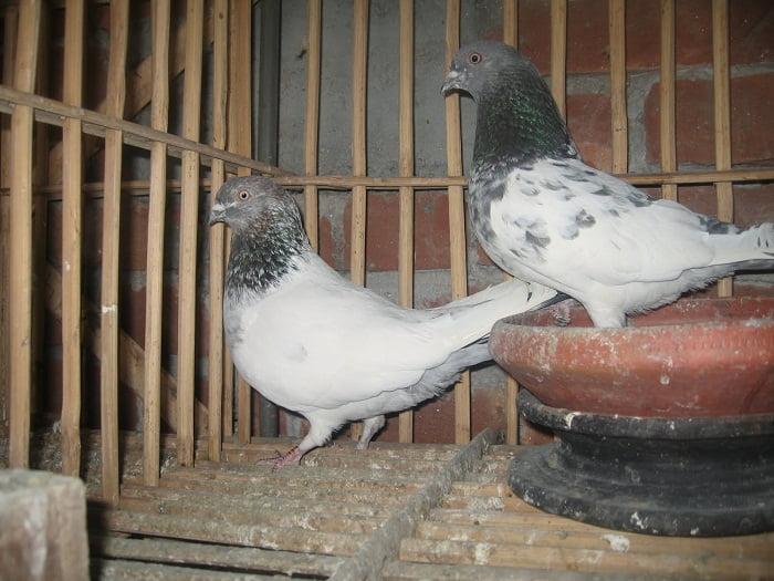 pigeons - kabotar - indian - naqaab kabootar