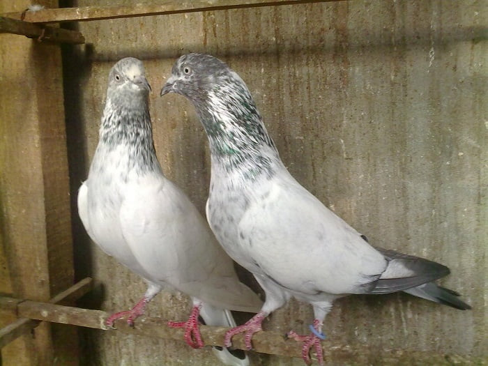 indian-pigeon-breeds - naqaab kabootar