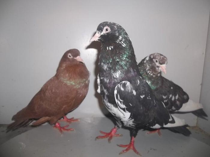 american tumbler pigeons