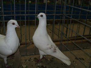 vienne pigeons