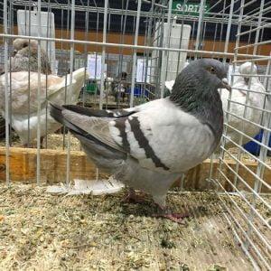 pigeons vukovar