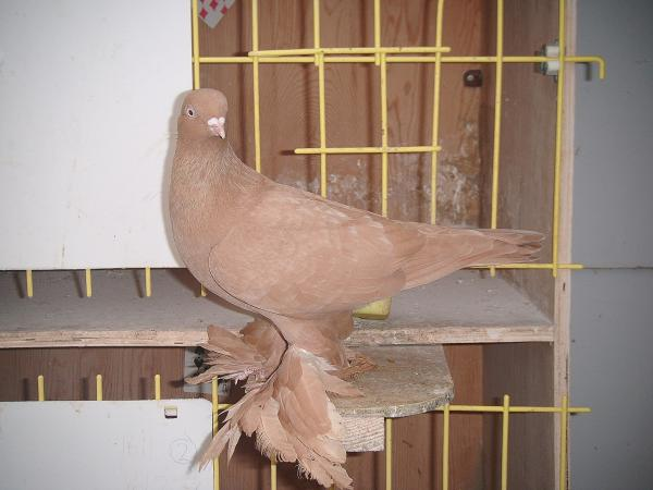 tumbler pigeons - red pigeons