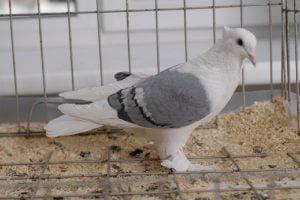 Sisaker Roller Pigeontype