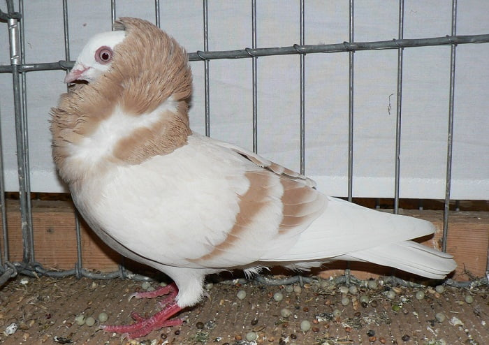 jacobin pigeons - structure pigeons