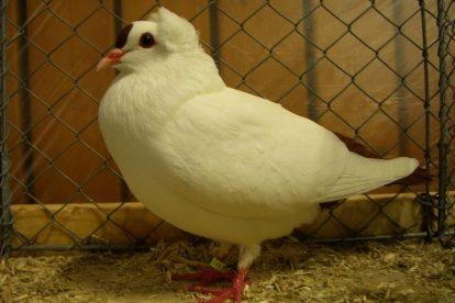 white pidgeon