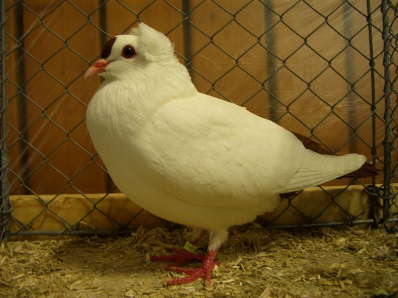 white pidgeon