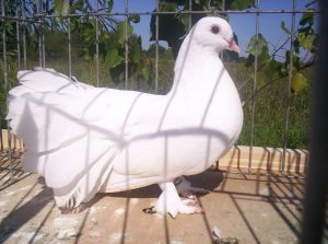 wite dove - Magyar Páva Galamb