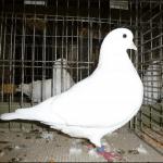 pigeons - utility pigeons