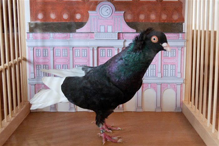black tumbler pigeons - german pigeons