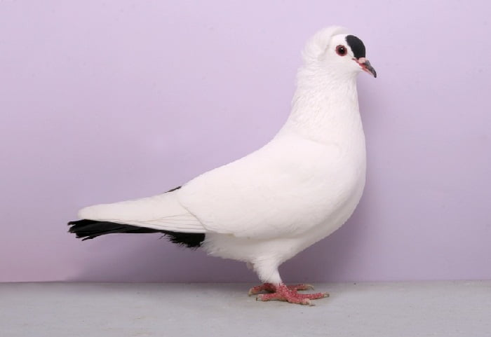 farbentauben - colored pigeon