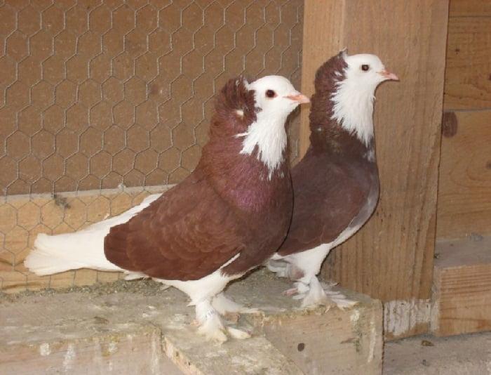 utility pigeons