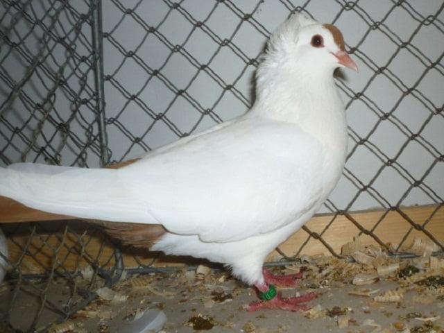 color pigeons - کفتر زیبا