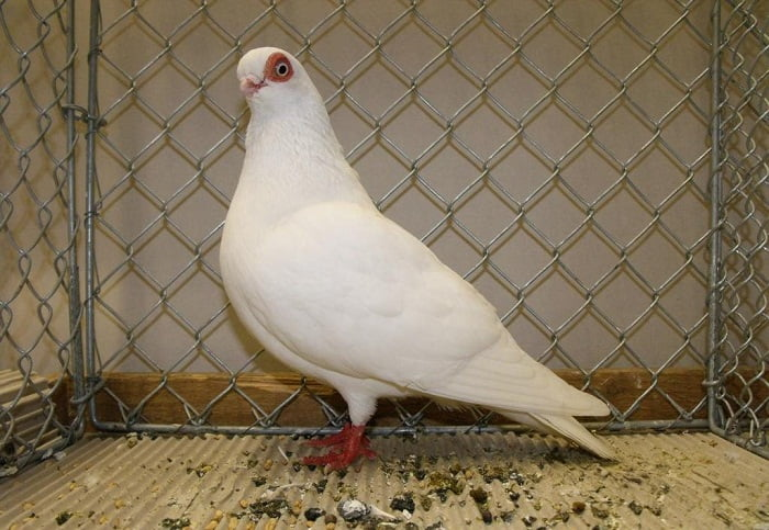 tumbler pigeons - white tumbler