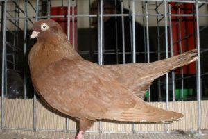 roller pigeons - yelloow pigeons - pigeons pics