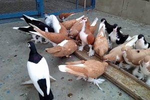 pakistani pigeons - siraj